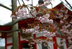 正福寺の桜, 7kaji.jp_109.jpg