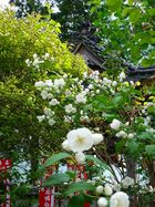 高照寺風景 50
